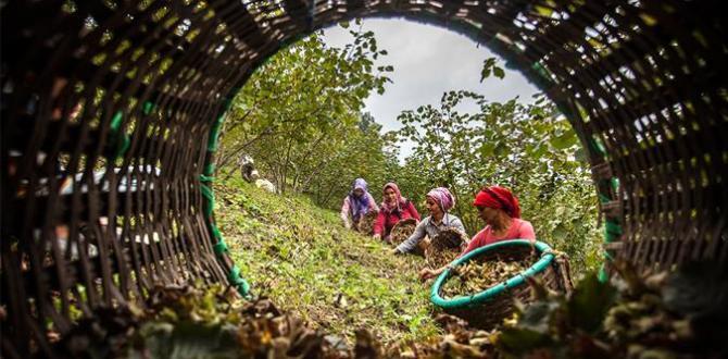 Fındık Hasadında Çalışacak İşçilere Ödenecek Asgari Ücretler Belirlendi